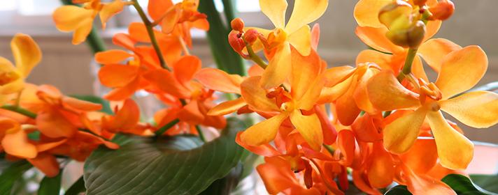 モカラ。3種類の蘭のかけ合わせで生まれた、まだ歴史の浅い蘭ですが、アジアのリゾートを思わせる雰囲気と豊富な花色に手頃な価格で、人気が高まっています。