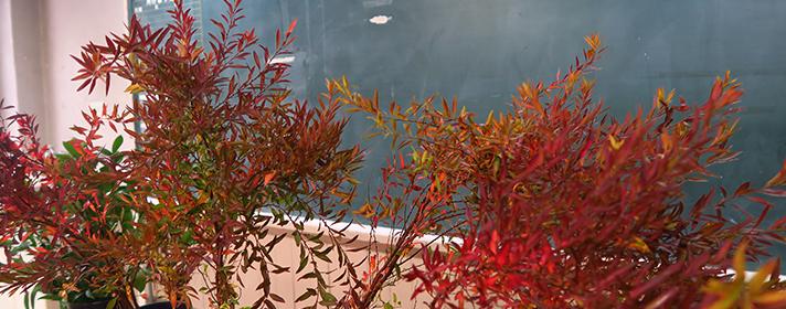 花道部 雪柳紅葉